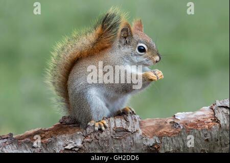 Östlichen Eichhörnchen Verzehr von Nüssen (Tamiasciurus oder Sciurus Hudsonicus), Frühjahr, E Nordamerika - Stockfoto