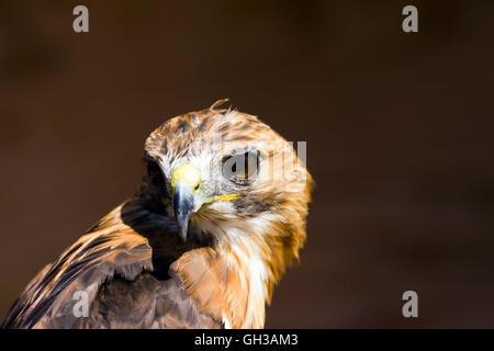 Rot - angebundener Falke (Buteo Jamaicensis) in Gefangenschaft - Stockfoto