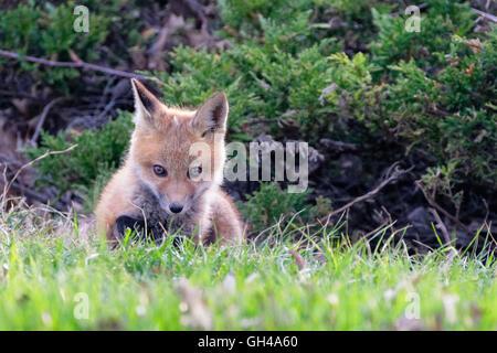 Close Up Frontalansicht eines Verlegung Rotfuchs Welpen starrte, Hunterdon County, New Jersey - Stockfoto