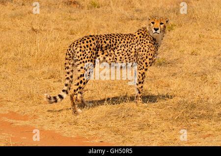 Zoologie/Tiere, Säugetiere (Mammalia), Geparden (Acinonyx jubatus), Etosha National Park, Namibia, Afrika, Additional - Stockfoto