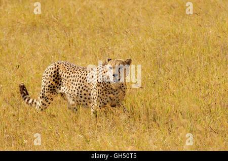 Zoologie/Tiere, Säugetiere (Mammalia), männliche Geparden (Acinonyx jubatus), Ngorongoro Krater, Ngorongoro Conservation - Stockfoto