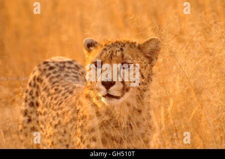 Zoologie/Tiere, Säugetiere (Mammalia), Geparden (Acinonyx jubatus) im hohen Gras der Kgalagadi Transfrontier Park, - Stockfoto