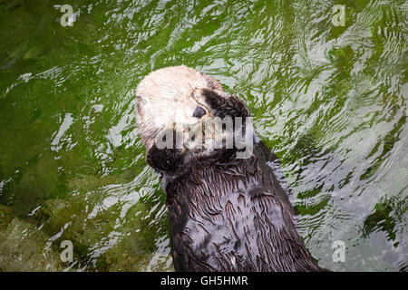 Eine weibliche Seeotter (Enhydra Lutris) im Vancouver Aquarium in Vancouver, British Columbia, Kanada. - Stockfoto
