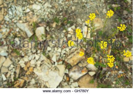 Wegrauke Ruscinonense gelbe Wiese Blume wächst auf den Felsen - Stockfoto