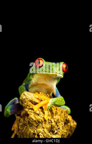 Rotäugigen Green Tree Frog (Agalychnis Callidryas) auf ein Stück Holz starrte nach vorne sitzen - Stockfoto