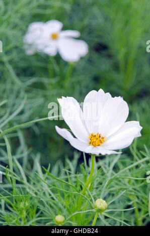 Weißen Kosmos Blume (auch als spanische Blume, Cosmos Sulphureus CAV ...