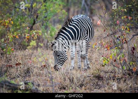 Zebra, Essen, Begrünung - Stockfoto