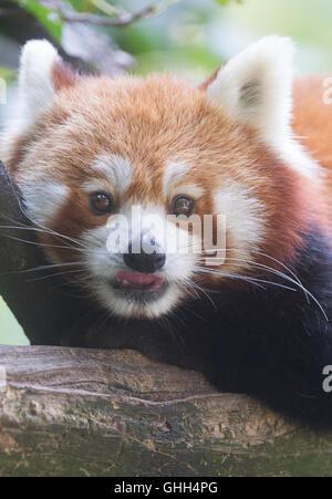 ein roter panda in seinem gehege im tierpark zoo in berlin deutschland 19 m rz 2017 foto. Black Bedroom Furniture Sets. Home Design Ideas