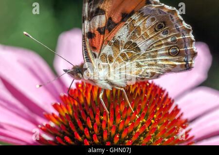 Echinacea Schmetterling auf Blume Nahaufnahme Fütterung Nektar gemalte Dame Schmetterling Vanessa cardui auf Koneflower