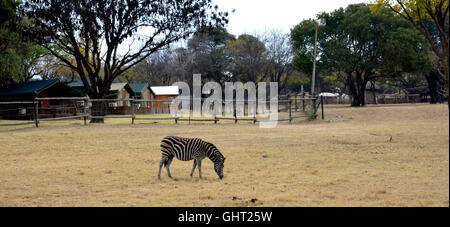 Zebra auf Grünland im National Park, Südafrika - Stockfoto