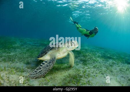 Chelonia Mydas, grüne Meeresschildkröte und Scuba Diver, Meeresschildkröte, Wadi Gimal, Marsa Alam, Rotes Meer, - Stockfoto