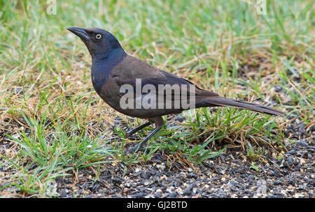 Gemeinsamen Grackle, Männlich, (Quiscalus Quiscula) ernähren sich von Vogelfutter, Michigan USA. - Stockfoto