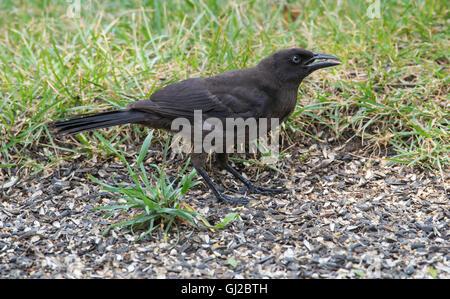 Gemeinsamen Grackle, Weiblich, (Quiscalus Quiscula) ernähren sich von Vogelfutter, Michigan USA - Stockfoto