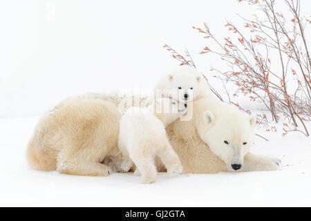Eisbär-Mutter (Ursus Maritimus) liegend mit zwei spielenden Jungen, Wapusk-Nationalpark, Manitoba, Kanada - Stockfoto