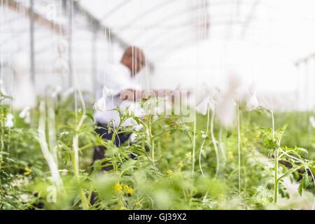 Porträt des Managers Inspektion junge Tomatenpflanzen in Hydrokultur Bauernhof in Nevis, West Indies - Stockfoto