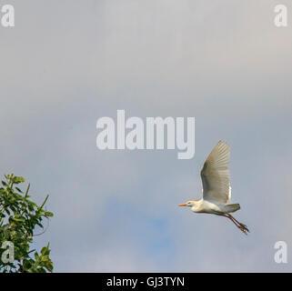 Kuhreiher während der Brutzeit mit orange Fahne auf seinem Kopf und Rücken, fliegen über einem Sumpf in Cameron - Stockfoto