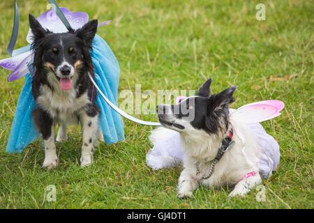 Burley, Hampshire, UK. 13. August 2016. Schäferhunde gekleidet als Feen tragen Tutus und Flügel des New Forest Fairy - Stockfoto
