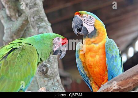 2 Papageien, Aras, thront auf einem Baum - Stockfoto