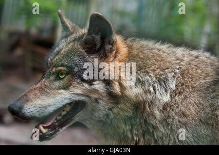 Eurasische Wolf (Canis Lupus Lupus). - Stockfoto