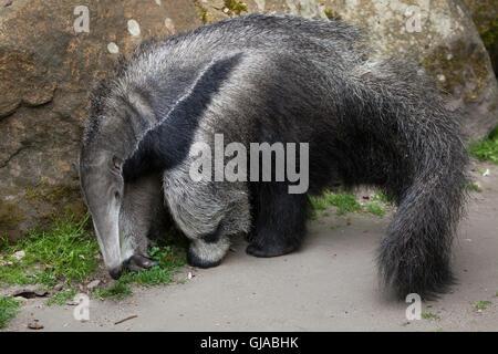 Großer Ameisenbär (Myrmecophaga Tridactyla), auch bekannt als der Ant-Bär. - Stockfoto