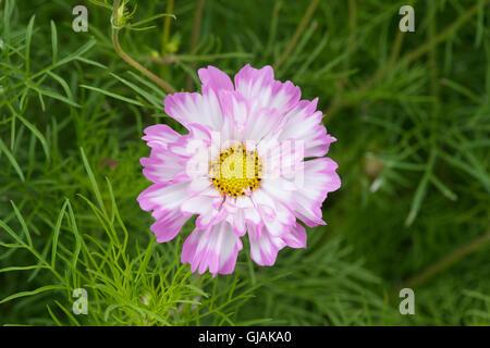 Cosmos Bipinnatus Double Click Bicolor Rose Blume - Stockfoto