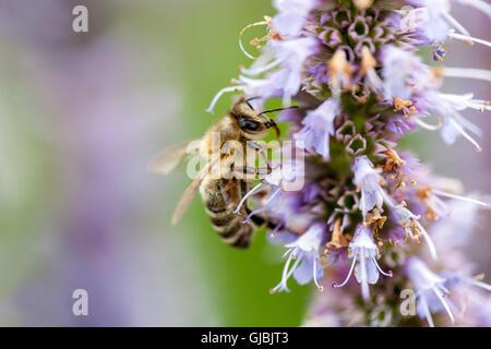 Biene auf Nepeta Kubanica, Catmins - Stockfoto