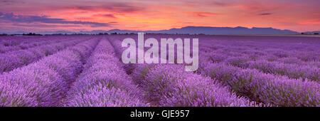 Sonnenaufgang über blühende Felder von Lavendel auf dem Plateau von Valensole in der Provence in Südfrankreich. - Stockfoto