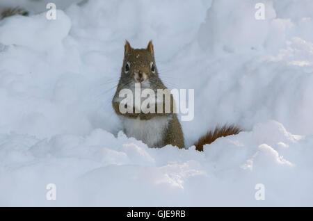 Amerikanisches Rotes Eichhörnchen (Tamiasciurus Hudsonicus) nach starkem Schneefall. Acadia Nationalpark in Maine, - Stockfoto