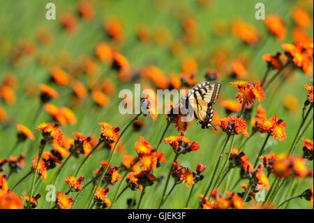Kanadische Tiger Schwalbenschwanz (Papilio Canadensis) Nectaring Orange Habichtskraut, Greater Sudbury, Ontario, Kanada Stockfoto