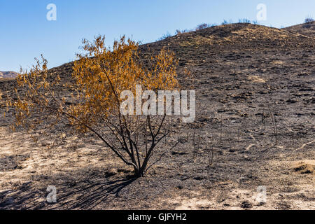 Geschwärzte Zweige eines jungen Baums wächst in den Hügeln von Süd-Kalifornien nach ein Lauffeuer. - Stockfoto