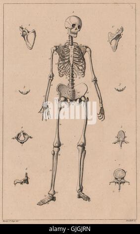 Anatomie: Menschliches Skelett. Squelette (Skelett) Homme, antiken ...