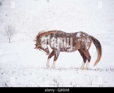 Warmblut Hengst immer munter im Schnee - Stockfoto