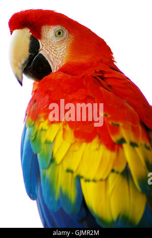 amerikanischer Vogel Papageien - Stockfoto