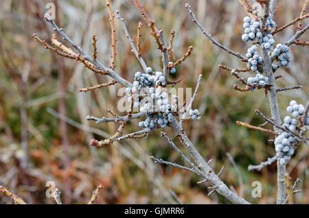 Bayberry Früchte (Myrica Pensylvanica) auf blattlosen Zweigen im Winter, Mount Desert Island, Maine. - Stockfoto