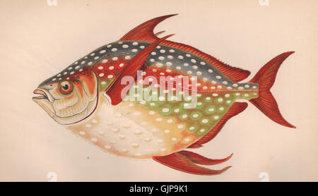 OPAH. Lampris Guttatus, Moonfish, Redfin Ozean Pan, Jerusalem Schellfisch. COUCH 1862 - Stockfoto