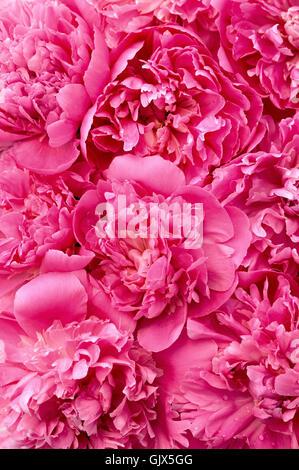 Blume Pflanze Pfingstrose - Stockfoto