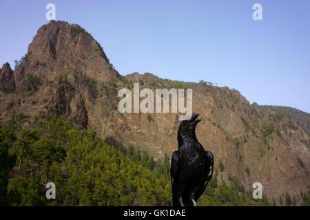 Gemeinsamen Raven (Corvus Corax Tingitanus) Mirador Los Roques in die Caldera de Taburiente, Insel La Palma, Kanarische - Stockfoto