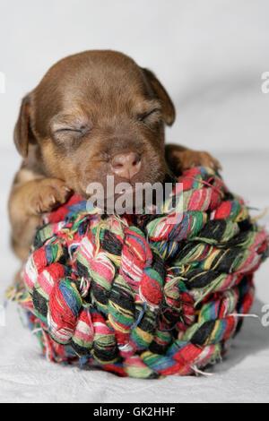 Portrait Hund Welpen - Stockfoto