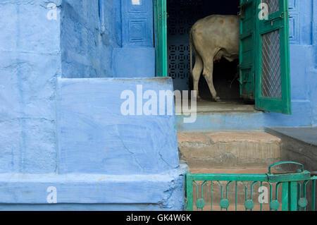 2009, Jodhpur, Indien---Kuh in Tür blau gestrichenen Hauses in alten Jodhpur---Bild von Jeremy Horner © - Stockfoto