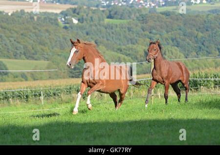Pferd Stute Arabische - Stockfoto