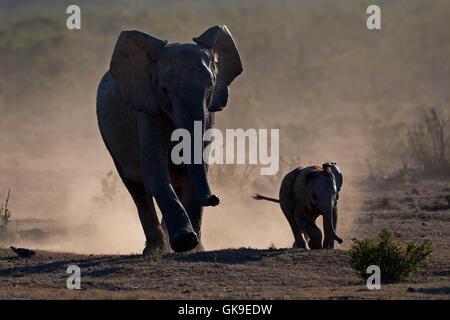 kleine Elefanten Staub - Stockfoto