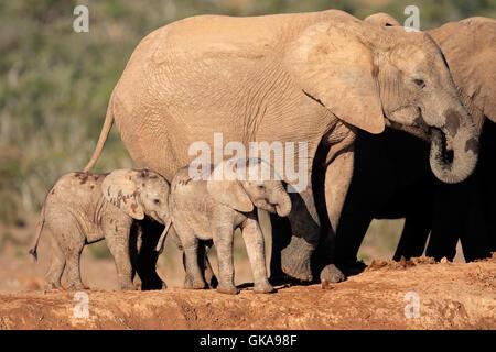 kleine Beine Elefant - Stockfoto