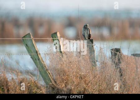 Sumpfohreule / Sumpfohreule (Asio Flammeus) im Winter, auf einem alten Zaun Pol in tief verschneiten Umgebung thront. - Stockfoto