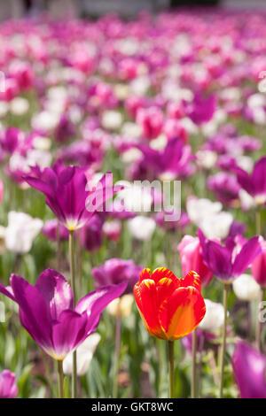 Eine einzelne orange Tulpen steht im Vordergrund vor dem Hintergrund der Purle und weißen Tulpen. - Stockfoto