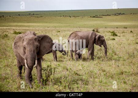 Afrikanische Elefanten in der Massai Mara, Kenia getroffen. - Stockfoto