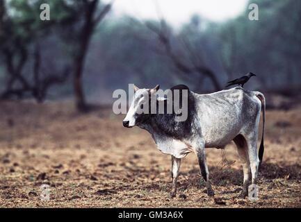 Brahman Kuh, eine inländische Kuh (Bos Indicus), während der Dürre mit Haus-Krähe auf dem Rücken, Gujarat, Indien - Stockfoto