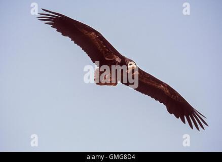 Schmutzgeier, manchmal genannt Scavenger Geier, Neophron Percnopterus, Juvenile im Flug, Bharatpur, Indien - Stockfoto