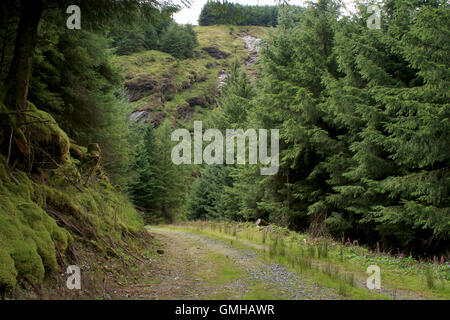 Pine Bäume Road in Glendalough, County Wicklow, Irland - Stockfoto