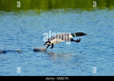 Gemeinsame Eistaucher (Gavia Immer) Taking Flight, Seney National Wildlife Refuge, Seney, Michigan, USA - Stockfoto