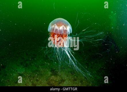 Des Löwen Mähne Quallen, Cyanea Capillata, Unterwasser, West-Schottland.